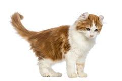 Het Amerikaanse en katje van de Krul, 3 maanden oud die, die zich terugtrekt eruit ziet stock afbeelding