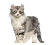 Het Amerikaanse katje van de Krul, 3 maanden oud die, die en zich de camera bevindt bekijkt royalty-vrije stock foto