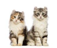 Het Amerikaanse katje van de Krul, 3 maanden oud, zitting en het bekijken de camera Royalty-vrije Stock Foto