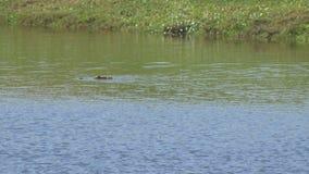 Het Amerikaanse krokodille zwemmen over de vijver van Florida, 4K stock footage
