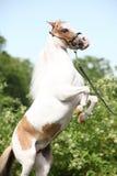 Het Amerikaanse miniatuurpaard steigeren Stock Foto