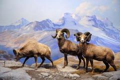 Het Amerikaanse Museum van de Stad van New York van Biologie Stock Fotografie