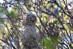 Het Amerikaanse nest van de bushtitvogel Stock Afbeeldingen
