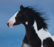 Het Amerikaanse Paard van de Verf Portret op donkerblauwe achtergrond Royalty-vrije Stock Foto's
