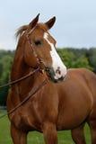 Het Amerikaanse Paard van het Kwart Royalty-vrije Stock Foto's