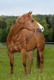 Het Amerikaanse Paard van het Kwart Royalty-vrije Stock Foto