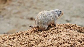 Het Amerikaanse prairiehond graven stock video