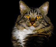 Het Amerikaanse Ras Cat With Stunning Yellow Eyes van de Bobtailmengeling Stock Afbeeldingen