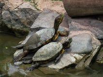 Het Amerikaanse Schildpadden Zonnebaden Stock Foto