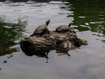 Het Amerikaanse Schildpadden Zonnebaden Stock Afbeelding