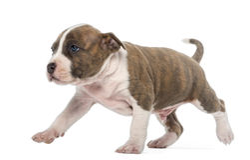 Het Amerikaanse Staffordshire lopen van het Puppy van de Terriër Stock Foto