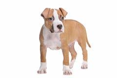 Het Amerikaanse Staffordshire puppy van de Terriër Stock Foto