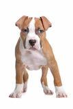 Het Amerikaanse Staffordshire puppy van de Terriër Royalty-vrije Stock Afbeelding