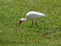 Het Amerikaanse Witte Ibis Voederen voor Voedsel stock afbeeldingen