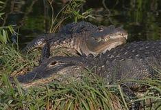 Het Amerikaanse Zonnen van Alligators Stock Foto's