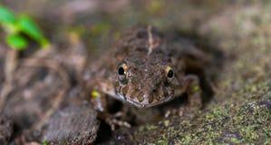 Het amfibische Dier van het Kikkerwild in Bos royalty-vrije stock fotografie