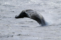 Het antarctische gebocheldewalvis springen Royalty-vrije Stock Fotografie