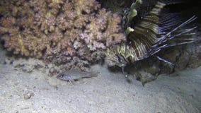 Het antennatahunting van Broadbarred firefish Pterois van leeuwvissen tijdens nacht duikt stock videobeelden