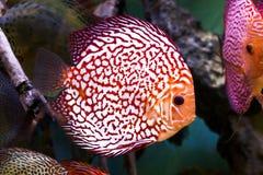 Het aquarium dierlijke exotische kleur van Diskus exotische vissen Royalty-vrije Stock Afbeeldingen