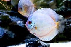 Het aquarium dierlijke exotische kleur van Diskus exotische vissen Royalty-vrije Stock Afbeelding