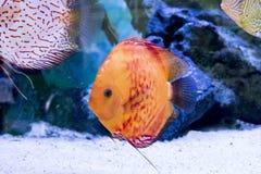 Het aquarium dierlijke exotische kleur van Diskus exotische vissen Stock Afbeelding