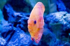 Het aquarium dierlijke exotische kleur van Diskus exotische vissen Royalty-vrije Stock Foto's