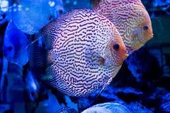 Het aquarium dierlijke exotische kleur van Diskus exotische vissen Stock Foto's