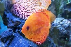Het aquarium dierlijke exotische kleur van Diskus exotische vissen Stock Fotografie