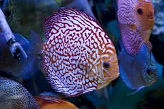 Het aquarium dierlijke exotische kleur van Diskus exotische vissen Stock Afbeeldingen