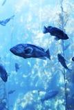 Het aquarium van de Montereybaai Stock Foto