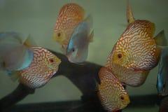 Het aquarium van discusvissen royalty-vrije stock foto's