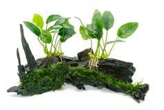 Het aquariuminstallaties van Anubiasbarteri en groen mos royalty-vrije stock fotografie