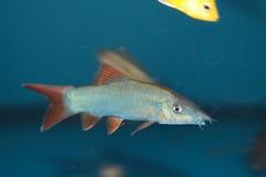 Het aquariumvissen blauwe van Botia (Yasuhikotakia-modesta) royalty-vrije stock afbeelding