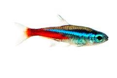 Het aquariumvissen van het neon - innesi Paracheirodon) royalty-vrije stock afbeelding