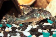 Het aquariumvissen van luipaardcorydoras royalty-vrije stock foto's