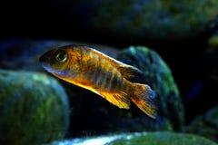 Het aquariumvissen van Malawi cichlid Aulonocara SP stock foto's