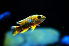 Het aquariumvissen van Malawi cichlid Aulonocara SP stock afbeeldingen