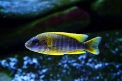 Het aquariumvissen van Malawi cichlid Aulonocara zoetwater stock afbeeldingen