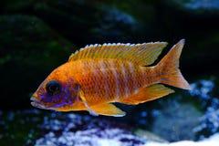 Het aquariumvissen van Malawi cichlid Aulonocara zoetwater royalty-vrije stock foto