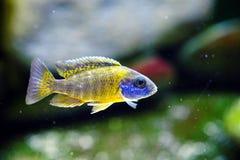 Het aquariumvissen van Malawi cichlid Aulonocara zoetwater stock afbeelding