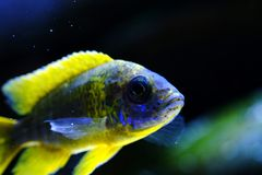 Het aquariumvissen van Malawi cichlid Aulonocara zoetwater stock foto