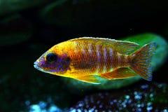 Het aquariumvissen van Malawi cichlid Aulonocara zoetwater stock fotografie