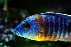 Het aquariumvissen van Malawi cichlid Aulonocara zoetwater royalty-vrije stock afbeeldingen