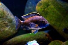 Het aquariumvissen van Malawi cichlid Copadichromis Azureus royalty-vrije stock afbeeldingen