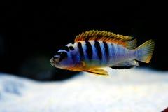 Het aquariumvissen van Malawi cichlid Labidochromis Hongi Zweden royalty-vrije stock fotografie