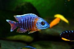 Het aquariumvissen van Malawi cichlid zoetwater royalty-vrije stock afbeeldingen