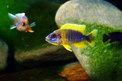 Het aquariumvissen van Malawi cichlid zoetwater stock foto's