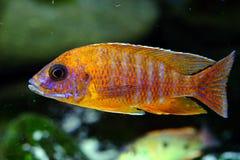 Het aquariumvissen van Malawi cichlid zoetwater stock fotografie