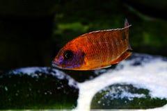 Het aquariumvissen van Malawi cichlid zoetwater stock foto