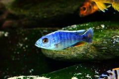 Het aquariumvissen van Malawi cichlid zoetwater royalty-vrije stock foto's
